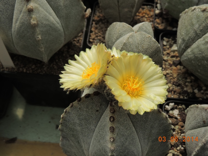 Cacti and Sukkulent in Köln, every day new flowers in the greenhouse Part 98 Bild_410