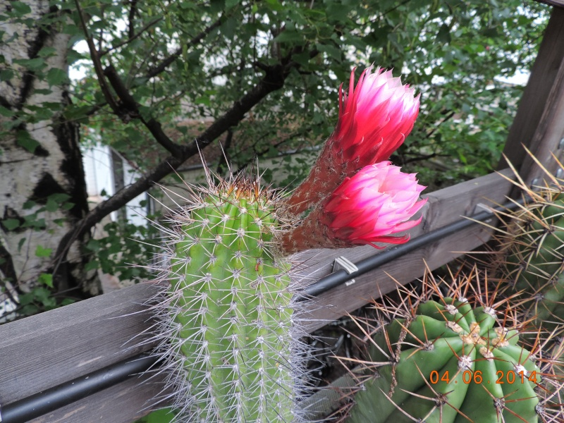 Cacti and Sukkulent in Köln, every day new flowers in the greenhouse Part 98 Bild_420