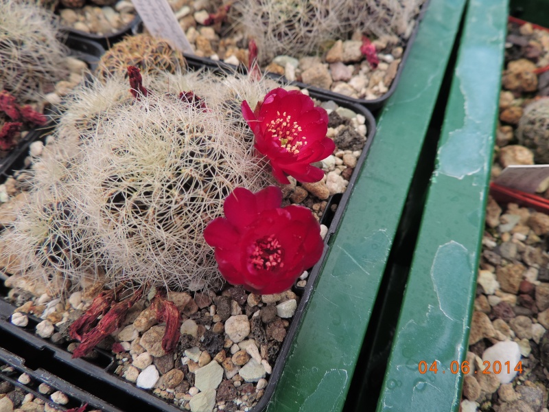 Cacti and Sukkulent in Köln, every day new flowers in the greenhouse Part 98 Bild_424
