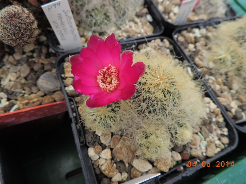 Cacti and Sukkulent in Köln, every day new flowers in the greenhouse Part 98 Bild_425