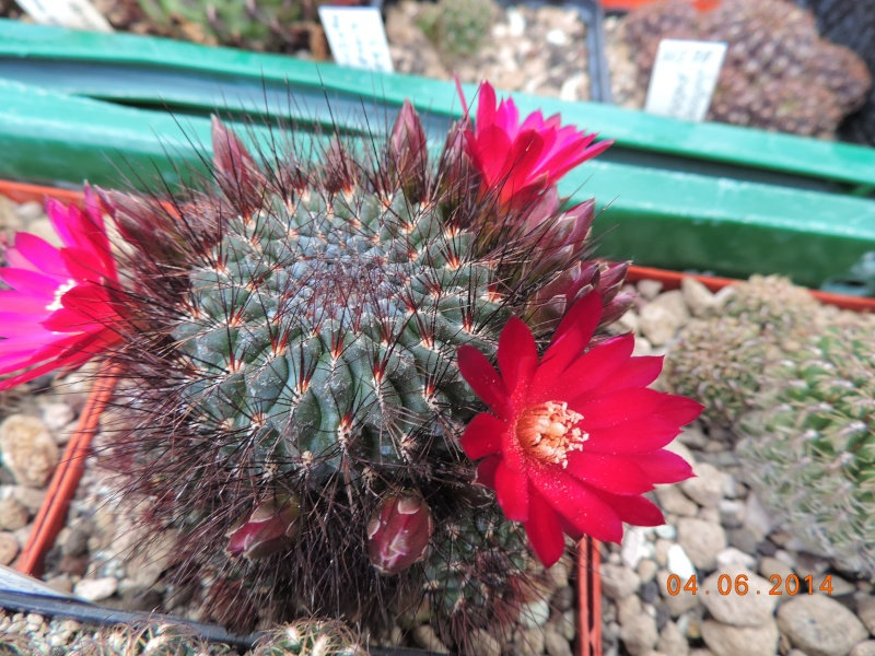 Cacti and Sukkulent in Köln, every day new flowers in the greenhouse Part 98 Bild_429