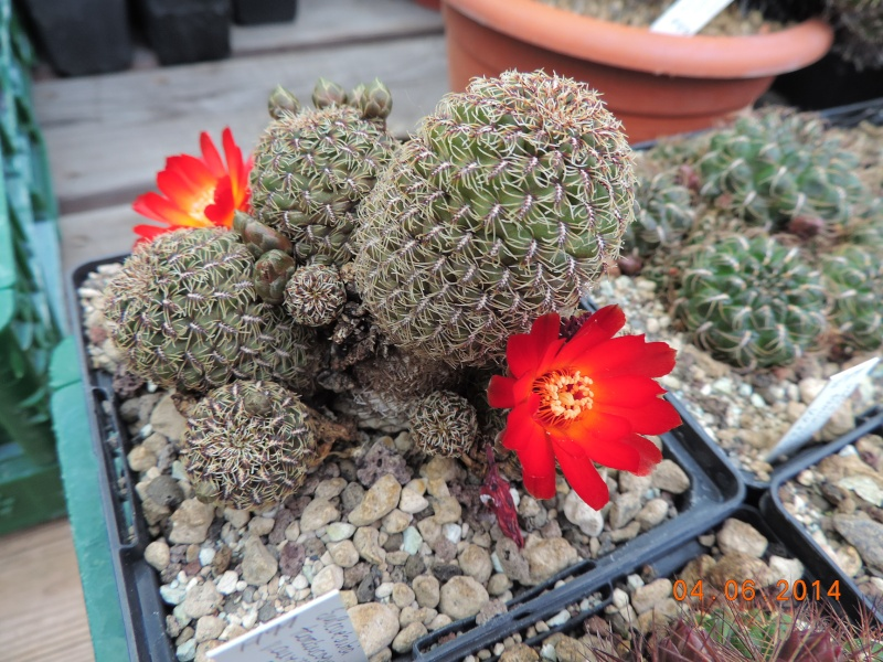 Cacti and Sukkulent in Köln, every day new flowers in the greenhouse Part 98 Bild_437