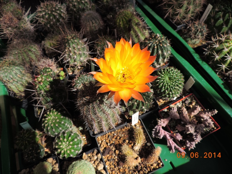 Cacti and Sukkulent in Köln, every day new flowers in the greenhouse Part 99 Bild_450