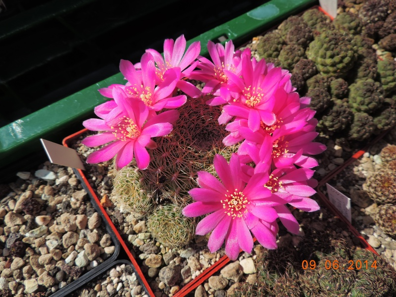 Cacti and Sukkulent in Köln, every day new flowers in the greenhouse Part 99 Bild_485