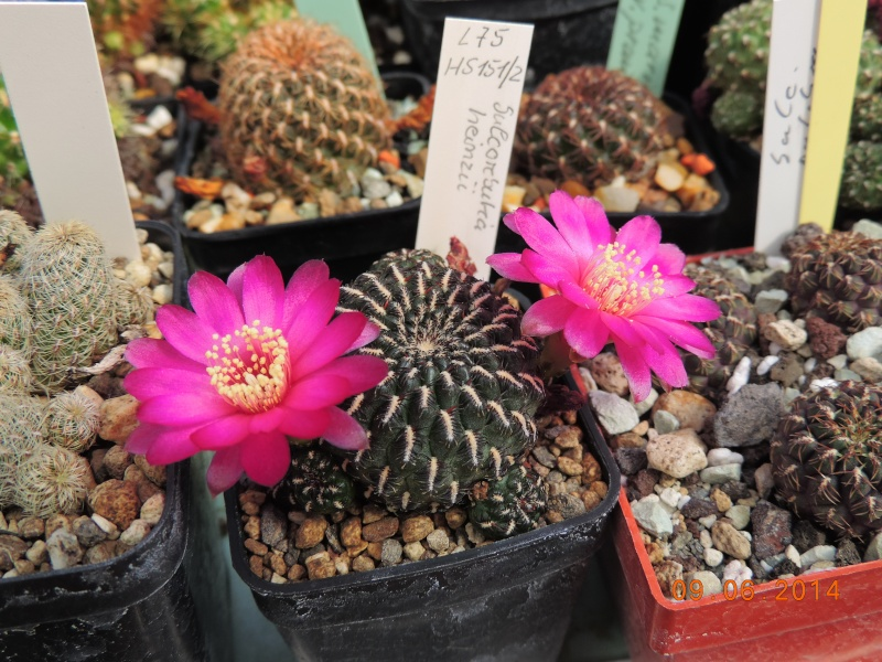 Cacti and Sukkulent in Köln, every day new flowers in the greenhouse Part 99 Bild_490