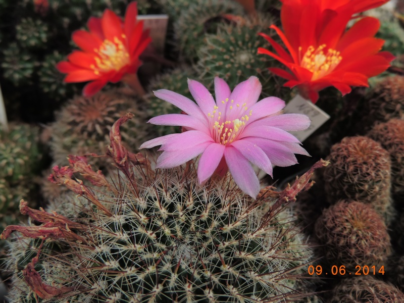 Cacti and Sukkulent in Köln, every day new flowers in the greenhouse Part 99 Bild_493