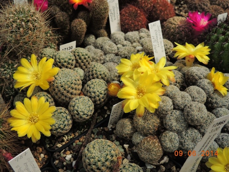 Cacti and Sukkulent in Köln, every day new flowers in the greenhouse Part 99 Bild_497