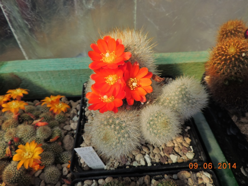 Cacti and Sukkulent in Köln, every day new flowers in the greenhouse Part 99 Bild_503