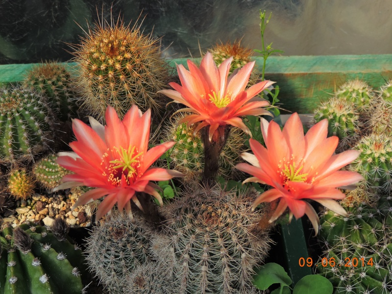 Cacti and Sukkulent in Köln, every day new flowers in the greenhouse Part 99 Bild_506