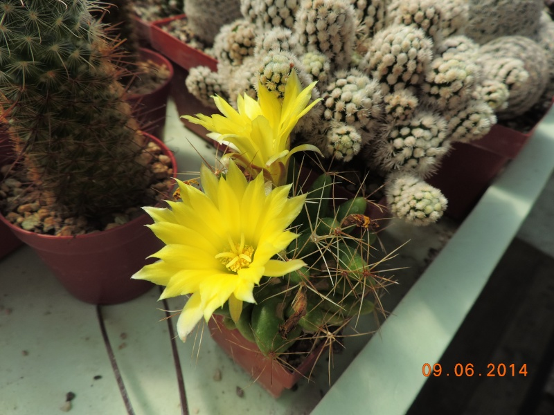 Cacti and Sukkulent in Köln, every day new flowers in the greenhouse Part 99 Bild_520