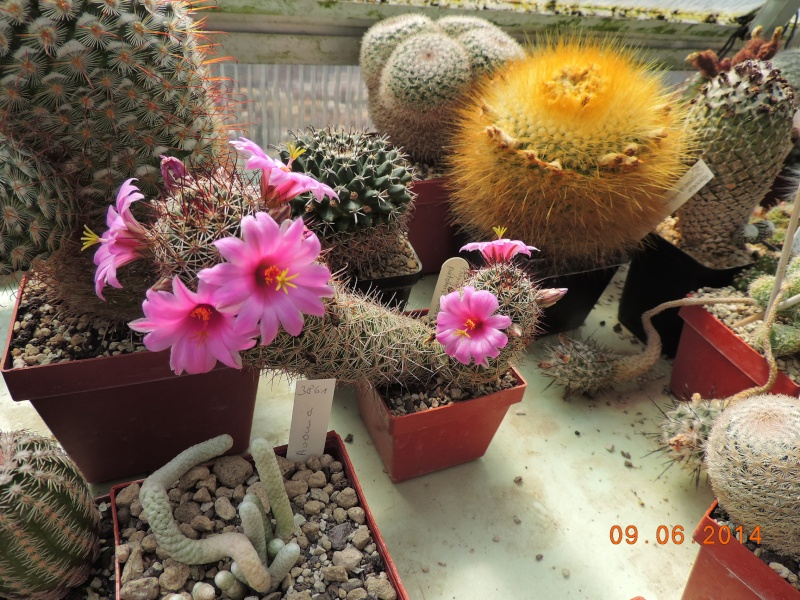 Cacti and Sukkulent in Köln, every day new flowers in the greenhouse Part 99 Bild_521