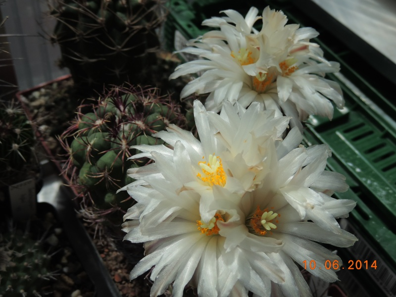 Cacti and Sukkulent in Köln, every day new flowers in the greenhouse Part 99 Bild_535
