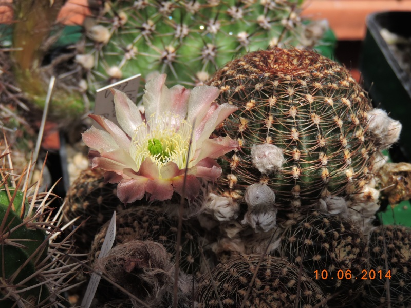 Cacti and Sukkulent in Köln, every day new flowers in the greenhouse Part 99 Bild_537