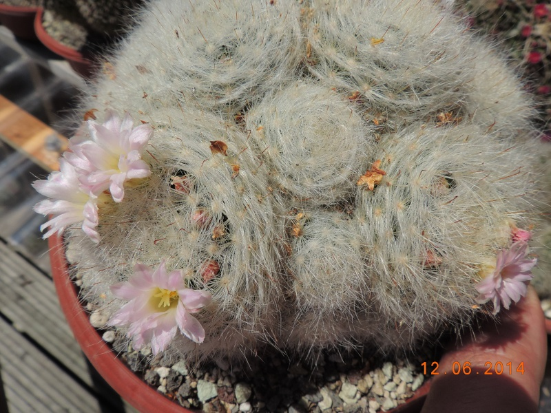 Cacti and Sukkulent in Köln, every day new flowers in the greenhouse Part 100 Bild_564
