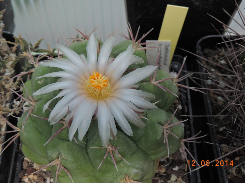 Cacti and Sukkulent in Köln, every day new flowers in the greenhouse Part 100 Bild_572