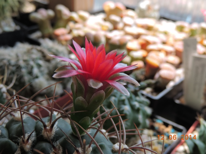 Cacti and Sukkulent in Köln, every day new flowers in the greenhouse Part 100 Bild_580