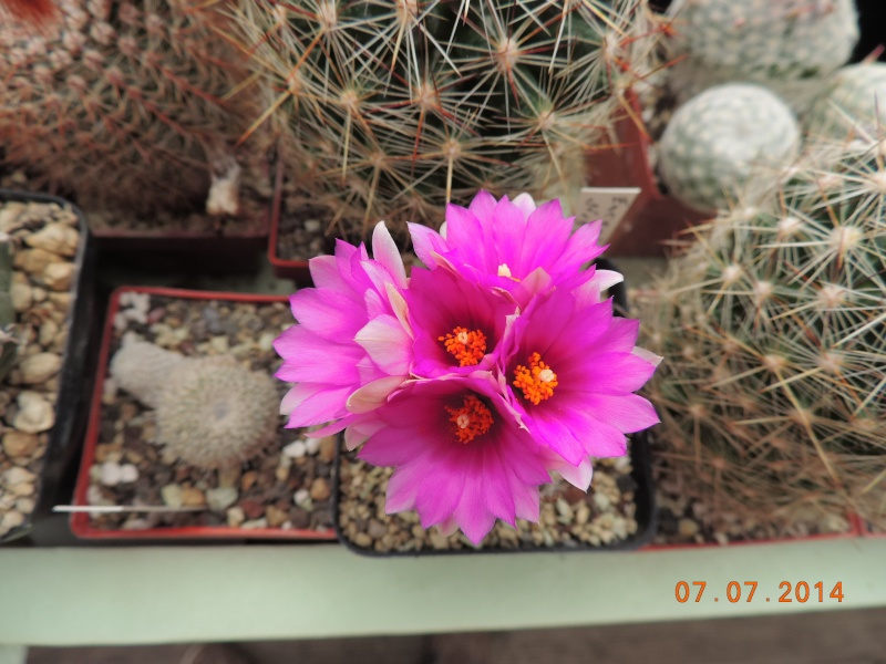 Cacti and Sukkulent in Köln, every day new flowers in the greenhouse Part 100 Bild_587