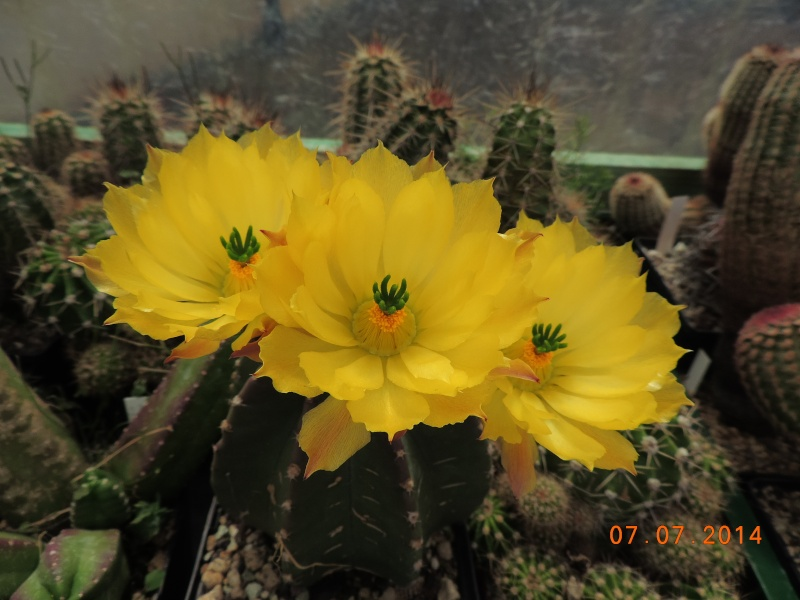 Cacti and Sukkulent in Köln, every day new flowers in the greenhouse Part 100 Bild_589