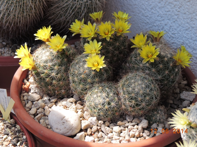 Cacti and Sukkulent in Köln, every day new flowers in the greenhouse Part 100 Bild_598