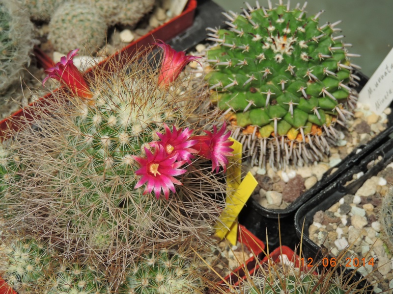 Cacti and Sukkulent in Köln, every day new flowers in the greenhouse Part 100 Bild_600