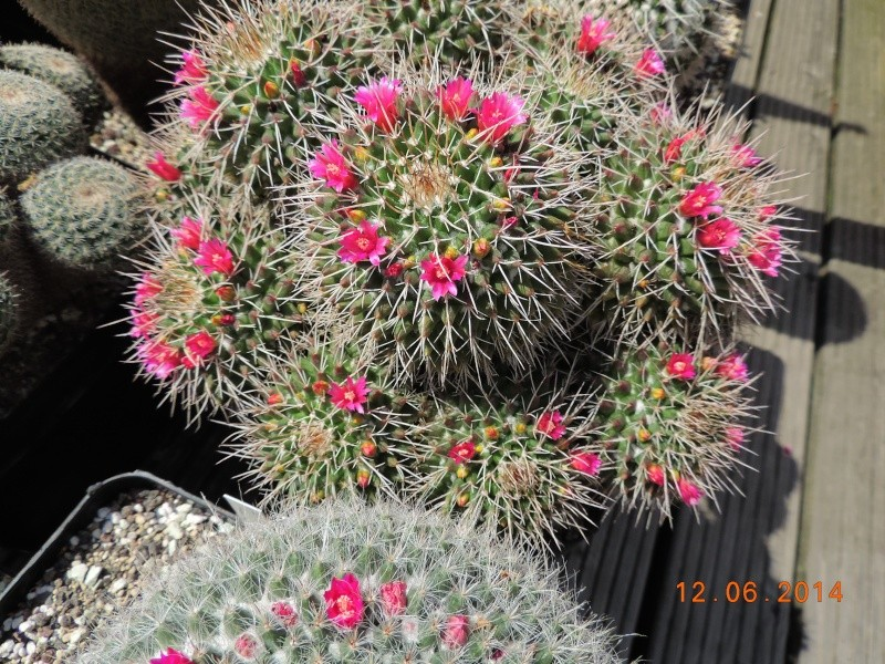 Cacti and Sukkulent in Köln, every day new flowers in the greenhouse Part 100 Bild_602