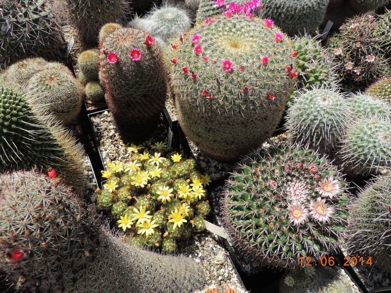 Cacti and Sukkulent in Köln, every day new flowers in the greenhouse Part 100 Bild_603