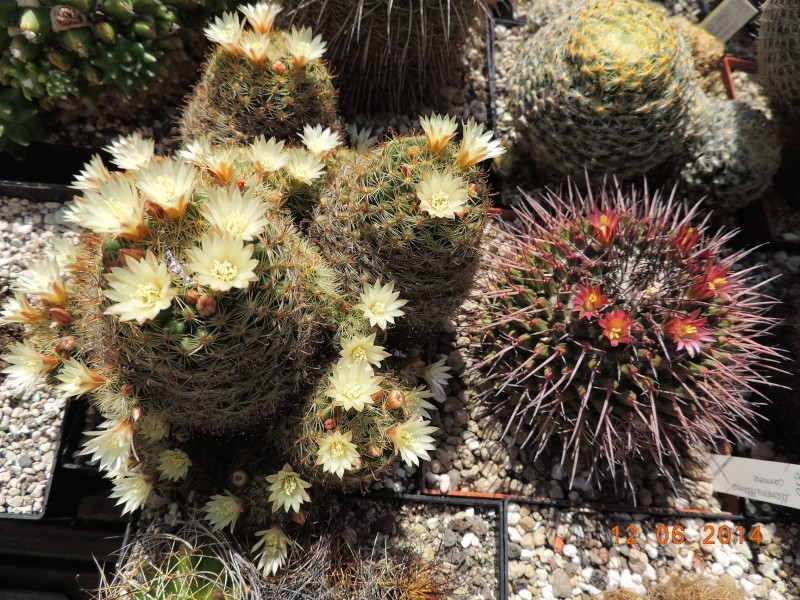 Cacti and Sukkulent in Köln, every day new flowers in the greenhouse Part 100 Bild_604