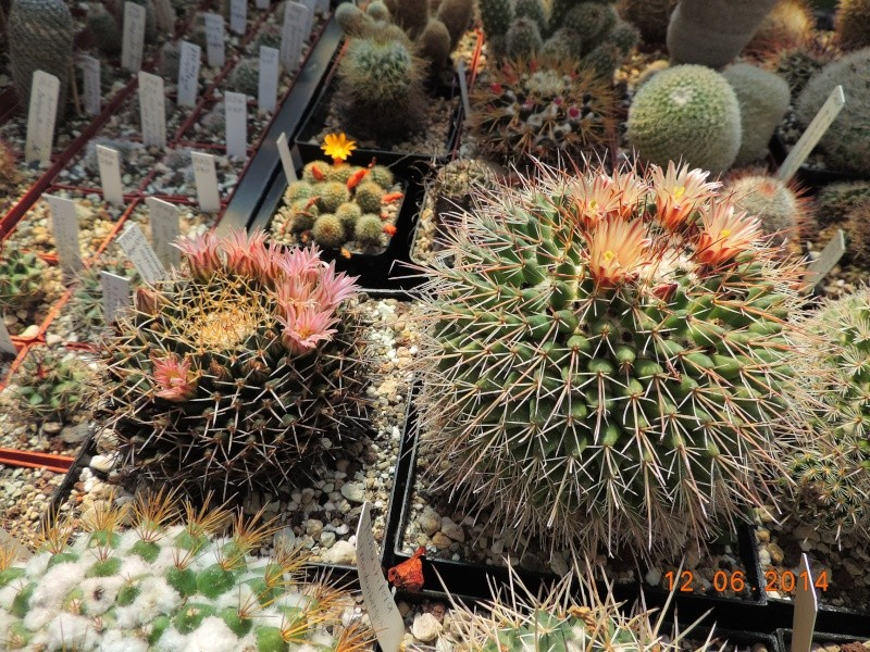Cacti and Sukkulent in Köln, every day new flowers in the greenhouse Part 100 Bild_606