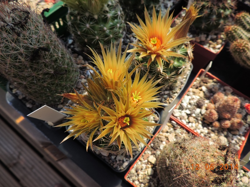 Cacti and Sukkulent in Köln, every day new flowers in the greenhouse Part 100 Bild_614