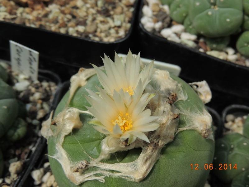 Cacti and Sukkulent in Köln, every day new flowers in the greenhouse Part 100 Bild_617