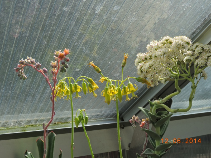 Cacti and Sukkulent in Köln, every day new flowers in the greenhouse Part 100 Bild_625