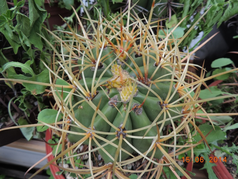 Cacti and Sukkulent in Köln, every day new flowers in the greenhouse Part 100 Bild_634