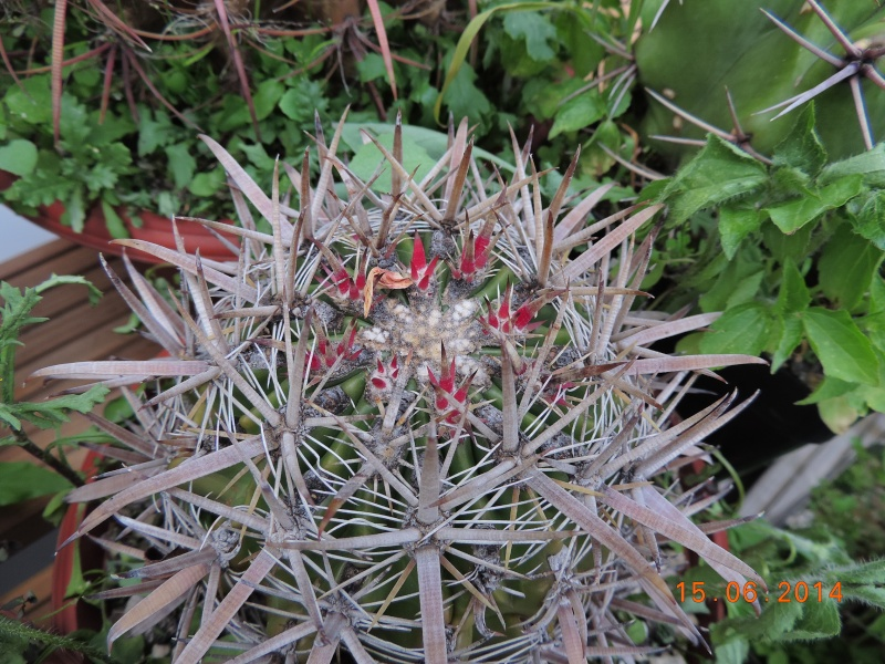 Cacti and Sukkulent in Köln, every day new flowers in the greenhouse Part 100 Bild_635