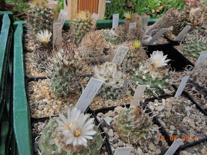 Cacti and Sukkulent in Köln, every day new flowers in the greenhouse Part 100 Bild_644
