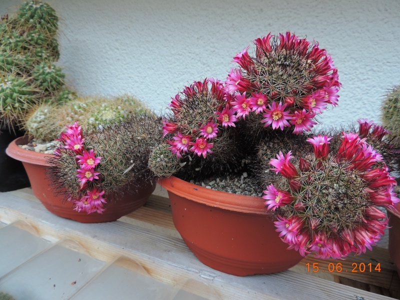 Cacti and Sukkulent in Köln, every day new flowers in the greenhouse Part 100 Bild_645