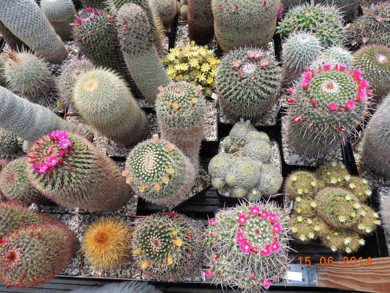 Cacti and Sukkulent in Köln, every day new flowers in the greenhouse Part 100 Bild_646