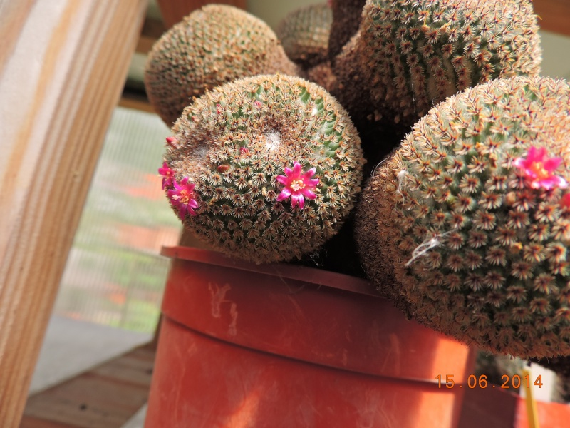 Cacti and Sukkulent in Köln, every day new flowers in the greenhouse Part 100 Bild_647