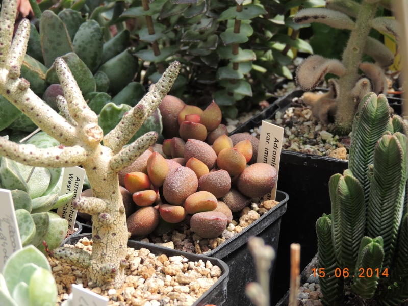 Cacti and Sukkulent in Köln, every day new flowers in the greenhouse Part 100 Bild_650