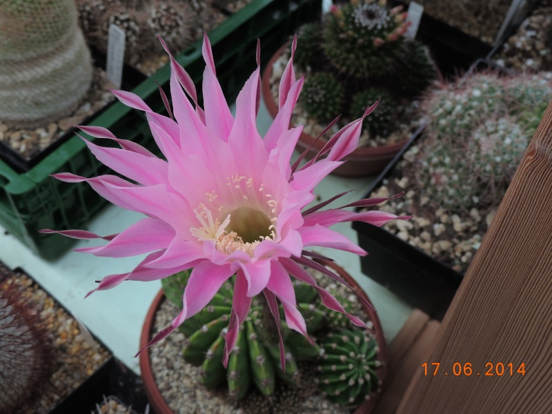 Cacti and Sukkulent in Köln, every day new flowers in the greenhouse Part 101 Bild_653
