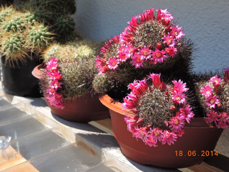 Cacti and Sukkulent in Köln, every day new flowers in the greenhouse Part 101 Bild_659