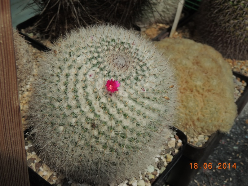 Cacti and Sukkulent in Köln, every day new flowers in the greenhouse Part 101 Bild_667