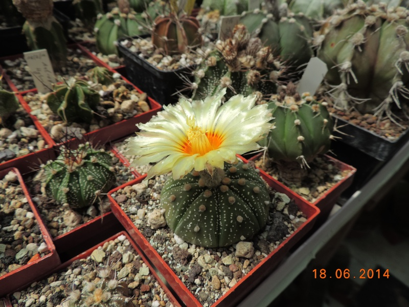 Cacti and Sukkulent in Köln, every day new flowers in the greenhouse Part 101 Bild_675