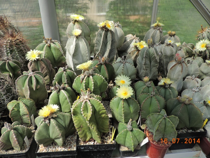 Cacti and Sukkulent in Köln, every day new flowers in the greenhouse Part 101 Bild_691
