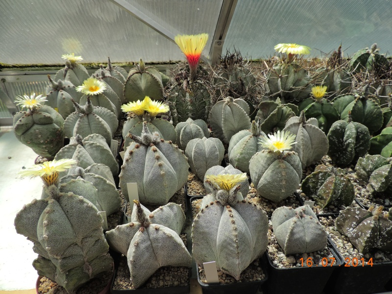 Cacti and Sukkulent in Köln, every day new flowers in the greenhouse Part 101 Bild_692