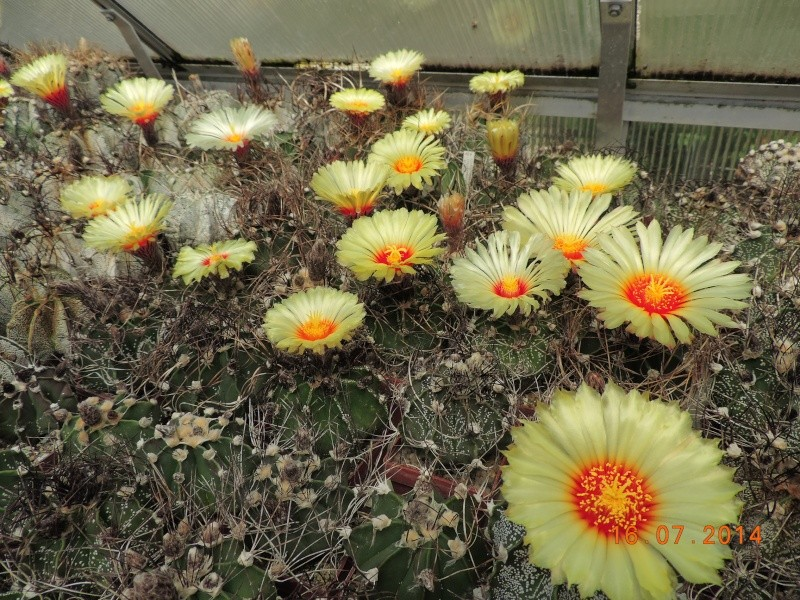 Cacti and Sukkulent in Köln, every day new flowers in the greenhouse Part 101 Bild_693