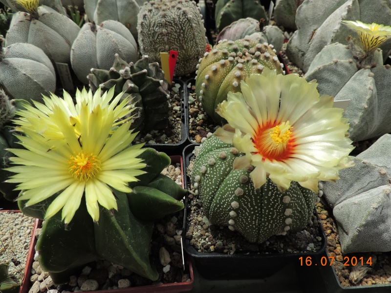 Cacti and Sukkulent in Köln, every day new flowers in the greenhouse Part 101 Bild_698