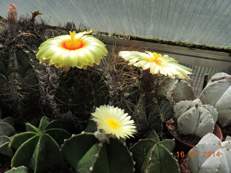 Cacti and Sukkulent in Köln, every day new flowers in the greenhouse Part 101 Bild_699