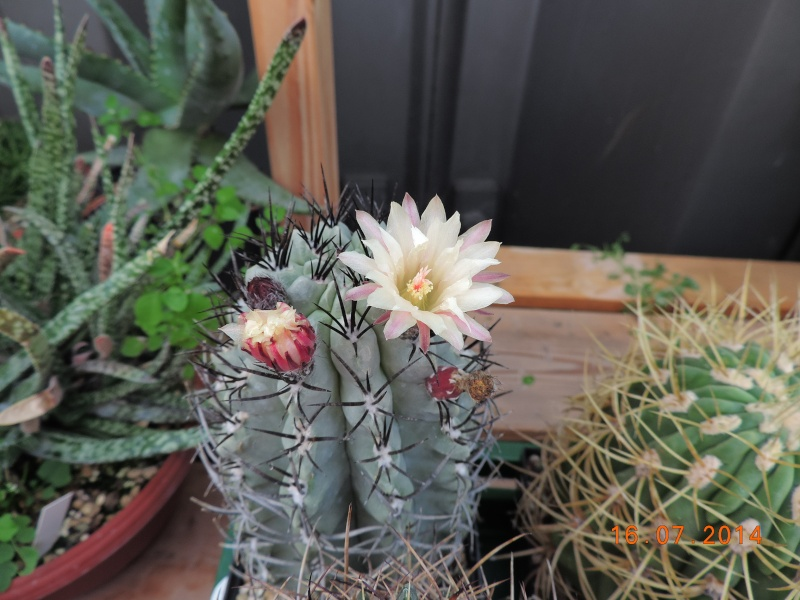 Cacti and Sukkulent in Köln, every day new flowers in the greenhouse Part 101 Bild_704