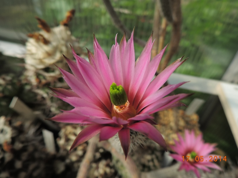 Cacti and Sukkulent in Köln, every day new flowers in the greenhouse Part 95 Bild_714