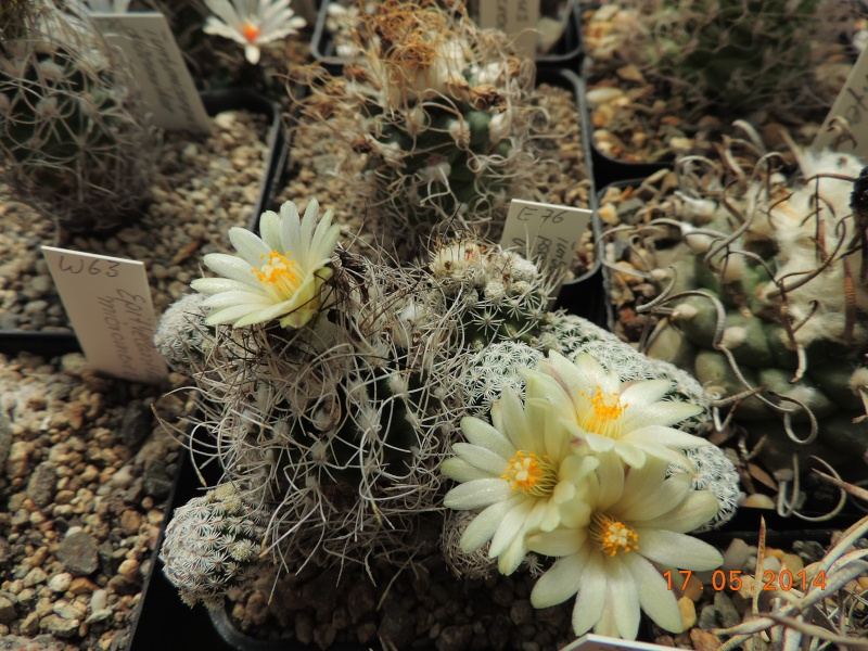Cacti and Sukkulent in Köln, every day new flowers in the greenhouse Part 95 Bild_716
